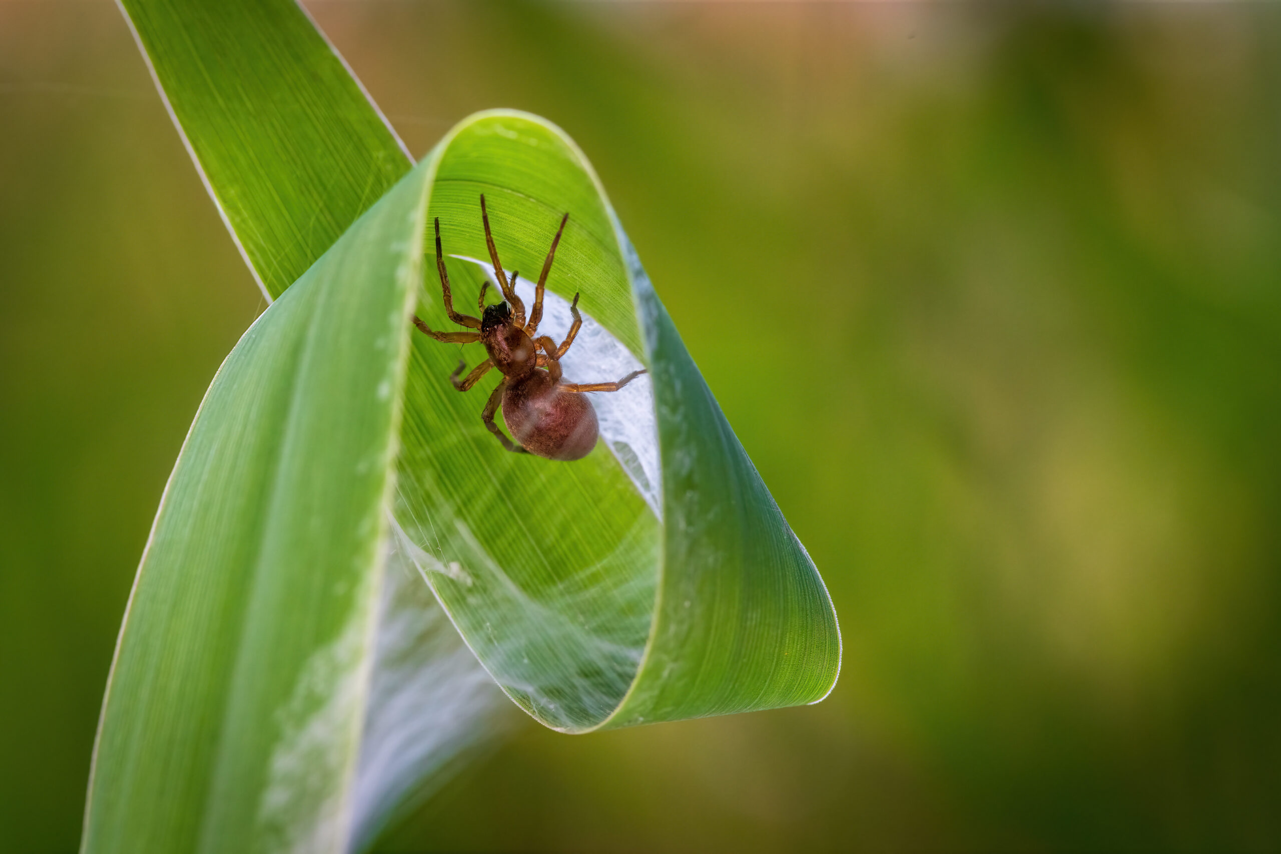 Spinne im Blattkringel
